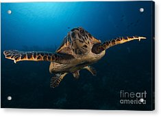 The Hawksbill Sea Turtle, Bonaire Acrylic Print by Terry Moore