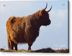 The Highland Cow Acrylic Print by Nichola Denny