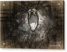 The Leopard's Tongue Rolling Roar IIi Acrylic Print