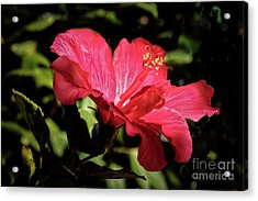 The Red Hibiscus Acrylic Print by Robert Bales