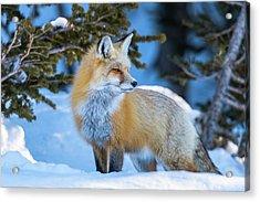 The Snow Beauty Acrylic Print