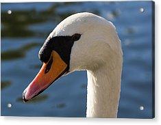 The Watchful Swan Acrylic Print