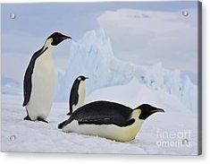 Three Emperor Penguins Acrylic Print