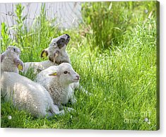 Acrylic Print featuring the photograph Three Little Lambs by Patricia Hofmeester