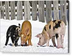 Three Piglets Acrylic Print