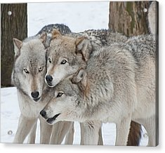 Three Wolves Are A Crowd Acrylic Print by Gary Slawsky