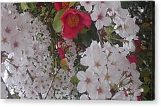 Thubaki Means Camellia Acrylic Print
