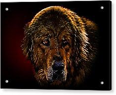 Tibetan Mastiff Acrylic Print