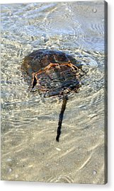 Tidepool Creature Acrylic Print
