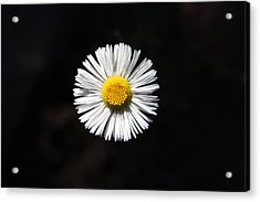 Tidy Fleabane Acrylic Print by Charles Ables