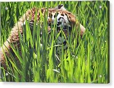 Tiger Acrylic Print by Naman Imagery