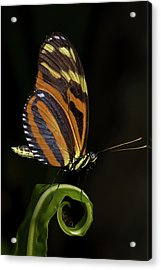 Tiger Longwing Acrylic Print by JT Lewis
