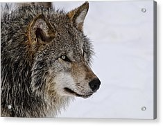 Acrylic Print featuring the photograph Timber Wolf by Michael Cummings