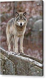 Timber Wolf On Rocks Acrylic Print by Michael Cummings