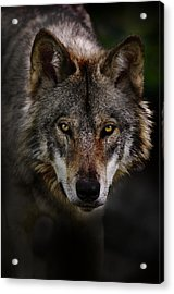 Timber Wolf Portrait Acrylic Print by Michael Cummings