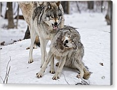 Timber Wolves In Winter Acrylic Print by Michael Cummings
