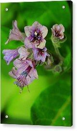 Tiny Purple Flower Acrylic Print by Patrick  Short