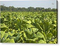 Tobacco Field Acrylic Print by Inga Spence