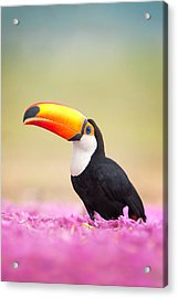 Toco Toucan Ramphastos Toco, Pantanal Acrylic Print by Panoramic Images