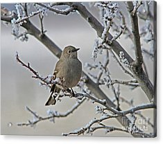 Townsend's Solitaire Acrylic Print