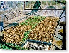 Transgenic Cotton Plants Acrylic Print by Inga Spence