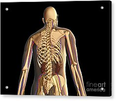 Transparent View Of Human Body Showing Acrylic Print by Stocktrek Images
