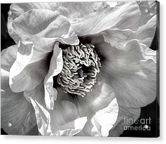 Acrylic Print featuring the photograph Tree Peony 'mystery' by Ann Jacobson