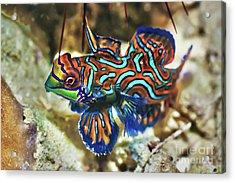 Tropical Fish Mandarinfish Acrylic Print by MotHaiBaPhoto Prints