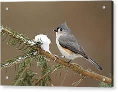 Tufted Titmouse Acrylic Print by Alan Lenk