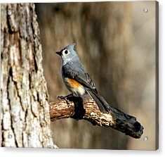 Tufted Titmouse On Branch Acrylic Print by Sheila Brown