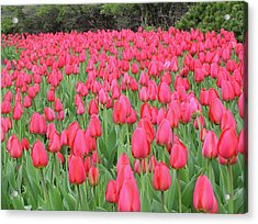 Tulip Field Acrylic Print by Richard Mitchell