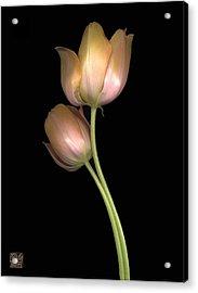 Tulip Acrylic Print by Lloyd Liebes