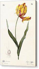 Tulip Acrylic Print by Pierre Joseph Redoute