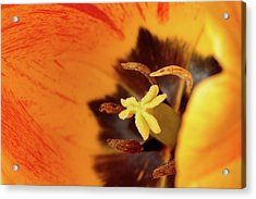 Tulip Acrylic Print by Rodger Werner