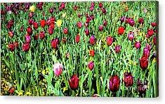 Tulips In Bloom Acrylic Print by D Davila