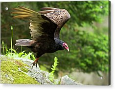 Acrylic Print featuring the photograph Turkey Vulture by Mircea Costina Photography