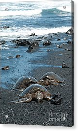 Turtles On Black Sand Beach Acrylic Print