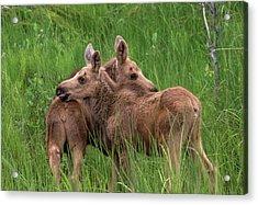 Twin Baby Moose Acrylic Print