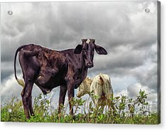 Two Cows Acrylic Print