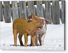 Two Piglets Playing Acrylic Print
