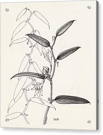 Vanilla Acrylic Print