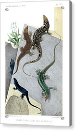 Varieties Of Wall Lizard Acrylic Print