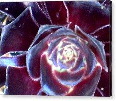 Velvet Rosette Acrylic Print