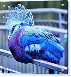 Victoria Crowned Pigeon Acrylic Print