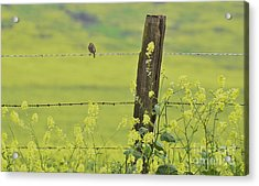 Warbler In The Meadow Acrylic Print