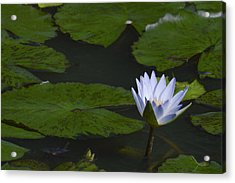 Water Lilies Acrylic Print by Linda Geiger