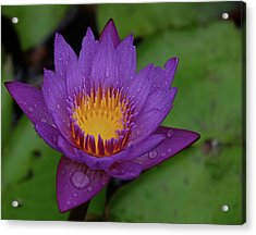 Water Lily Acrylic Print by Ronda Ryan