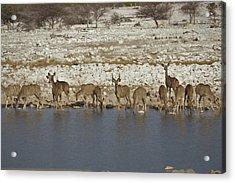 Waterhole Kudu Acrylic Print by Ernie Echols