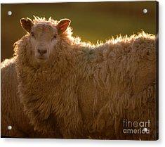 Welsh Lamb In Sunny Sauce Acrylic Print by Angel  Tarantella