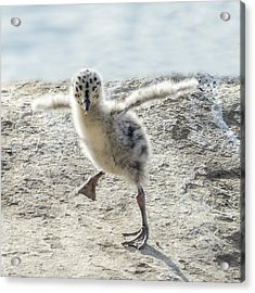 Western Gull Chick Dancing Acrylic Print